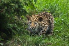 Amur leopard Panthera pardus orientalis. Three-month-old Amur leopard Panthera pardus orientalis stock photo