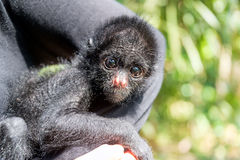 Three Month Old Spider Monkey Royalty Free Stock Image