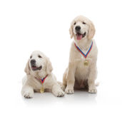 Three-month puppy golden retriever Royalty Free Stock Images