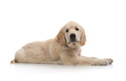 Three-month puppy golden retriever Stock Photography