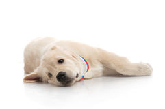 Three-month puppy golden retriever Royalty Free Stock Photo