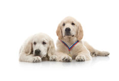 Three-month puppy golden retriever Royalty Free Stock Image