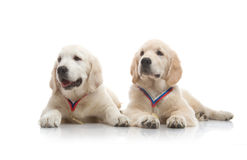 Three-month puppy golden retriever Stock Image