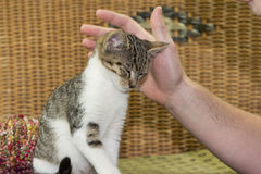 Three months old kitten enjoys to be stroked. Three months old kitten enjoys to be stroked from his owner Royalty Free Stock Photo