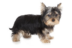 Three months old Yorkshire terrier Stock Photo