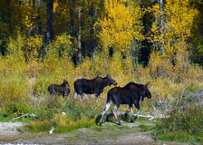 Three Moose Royalty Free Stock Photography
