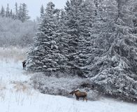 Three moose near the spruce Royalty Free Stock Image