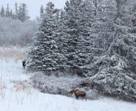 Three moose near the spruce Royalty Free Stock Image