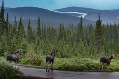 Three moose by the road Royalty Free Stock Images