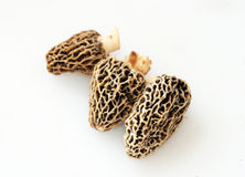 Three Morel Mushrooms. Three fresh picked morel Mushrooms isolated on a white background. The mushrooms were picked from a forest in Northwest Michigan royalty free stock photo