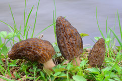 Three Morels. Three young spring Morel mushrooms in natural habitat, on the bank of the creek Stock Image