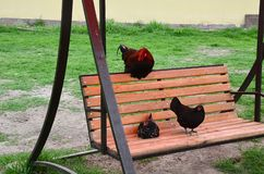 Three motley hens are sitting on a wooden bench swing in the yard stock images