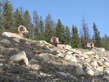 Three Mountain Sheep. Three male mountain sheep resting in the rocks in Jasper Stock Photos