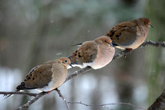 Three Mourning Doves. Perched on a branch in winter Stock Photo