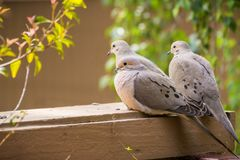 Three Mourning Doves sitting on a balcony ledge, California Stock Photo