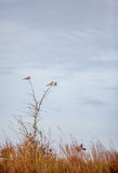 Three mourning doves in a tree Stock Photo