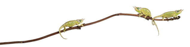 Three Mt. Meru Jackson's Chameleons Stock Photos