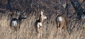 Three mule deer in a field Royalty Free Stock Image