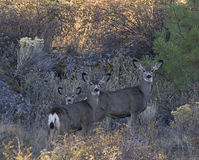 Three Mule Deer Foraging in Weeds Royalty Free Stock Photos