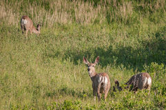 Three Mule Deer (Odocoileus hemionus) Royalty Free Stock Photography
