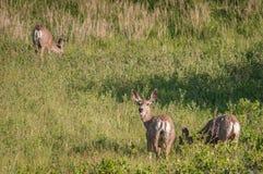 Three Mule Deer (Odocoileus hemionus). Graze in grassland Royalty Free Stock Photography