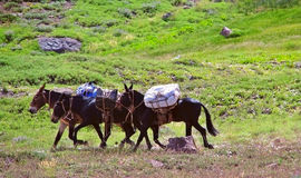 Three mules Stock Image