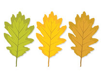 Three multi-colored oak leaf Royalty Free Stock Images