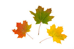 Three multi-coloured maple leaves Royalty Free Stock Photo