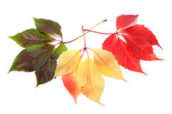 Three multicolor virginia creeper leafs Stock Photography