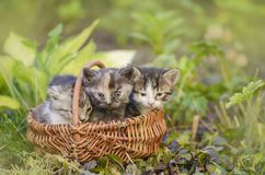 Three kitten sitting in a basket outdoors. Group of three little kittens sitting in flowers stock photos