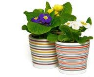 Three Multicolored Primroses Royalty Free Stock Photo