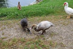 Three Muscovy Ducklings Eat and Play While Mom Watches Over Them. Beige, tan, and dark brown few week old Muscovy ducks walk by the bank of the river while mom royalty free stock images