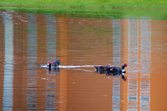 Three muscovy ducks in pond Stock Photos