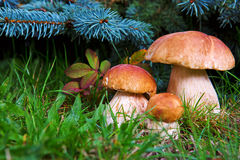Three mushroom boletus in the forest. Three Mushrooms in the Grass closeup at the Autumn  Day Royalty Free Stock Image