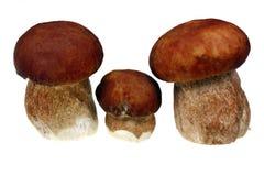 Three mushroom boletus Stock Photography