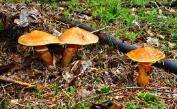 Three mushroom suillus grevillei Stock Images