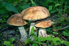 Three mushrooms Royalty Free Stock Image