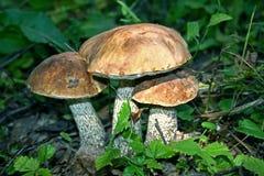 Free Three Mushrooms Royalty Free Stock Image - 12988396