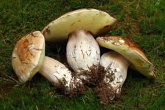 Three mushrooms Royalty Free Stock Images