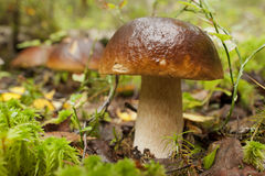 Three mushrooms in the forest Royalty Free Stock Images