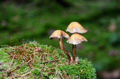 Three mushrooms in the forest on a moss-covered tree trunk Royalty Free Stock Photo