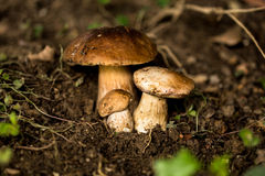 Three mushrooms in the forest Stock Photos