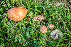 Three Mushrooms in the Grass closeup at the Summer Day Royalty Free Stock Images