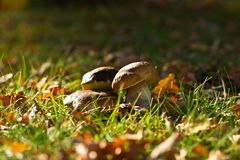 Mushrooms. Three mushrooms in the grass Royalty Free Stock Photos