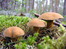 Three mushrooms Stock Photography