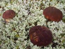 Three mushrooms in the white moss Stock Photo