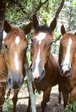 The Three Musketeers. Three curious horse came to the fence to have their picture taken Stock Photography
