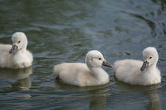 Three Mute Swan cygnets swimming on a pond Royalty Free Stock Images