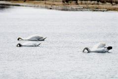 Three mute swans Stock Image