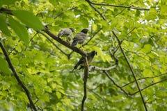 Three Mynas are on the tree. royalty free stock photos